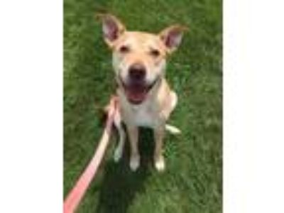 Adopt Precious a Tan/Yellow/Fawn Retriever (Unknown Type) / Mixed dog in Valley