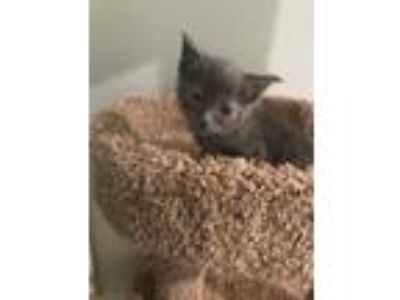 Adopt Smokey a Gray or Blue Domestic Shorthair / Domestic Shorthair / Mixed cat