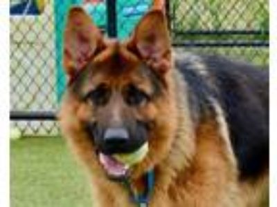 Adopt Max a German Shepherd Dog, Mixed Breed