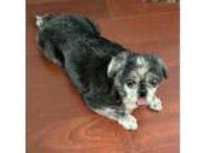 Adopt Rowdy a Black - with Gray or Silver Pug / Mixed dog in Grapevine