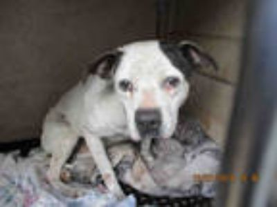 Adopt TRUDY a White - with Black American Pit Bull Terrier / Mixed dog in