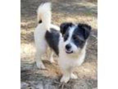 Adopt Kingsley a Miniature Schnauzer, Jack Russell Terrier