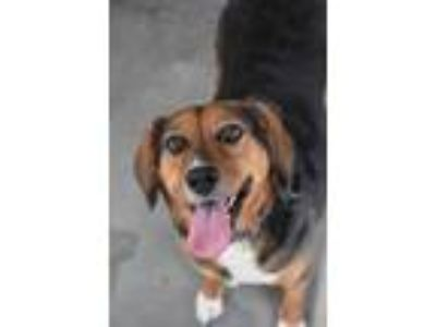 Adopt Daisy May a Black Shepherd (Unknown Type) / Beagle / Mixed dog in North