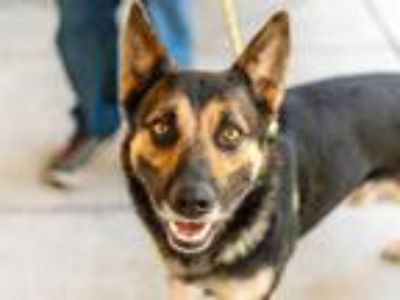 Adopt SIXX a Black - with Brown, Red, Golden, Orange or Chestnut German Shepherd