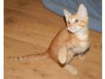 Adopt CUSTARD - OS'D W/SISTER a Orange or Red Tabby Domestic Shorthair (short