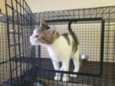 Adopt lemonade a Tan or Fawn Tabby American Shorthair (short coat) cat in