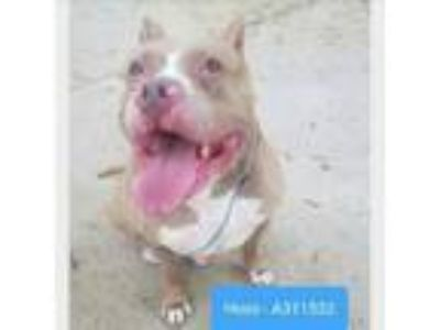 Adopt HOSS a Staffordshire Bull Terrier, Mixed Breed