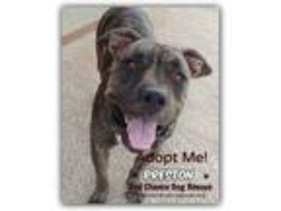 Adopt Preston a American Staffordshire Terrier