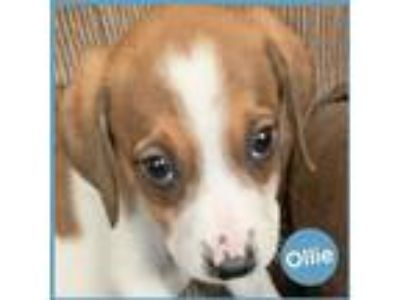 Adopt Ollie a White - with Tan, Yellow or Fawn Beagle / Labrador Retriever dog