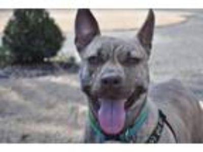 Adopt Sophe a Australian Cattle Dog / Blue Heeler, Pit Bull Terrier
