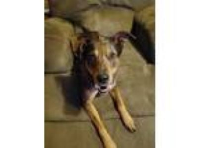 Adopt Jonah a Merle Catahoula Leopard Dog / Mixed dog in White Settlement