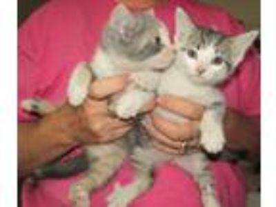 Adopt 2 Kittens a Gray, Blue or Silver Tabby Domestic Shorthair (short coat) cat