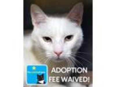 Adopt Mouse a Domestic Shorthair / Mixed (short coat) cat in Novato