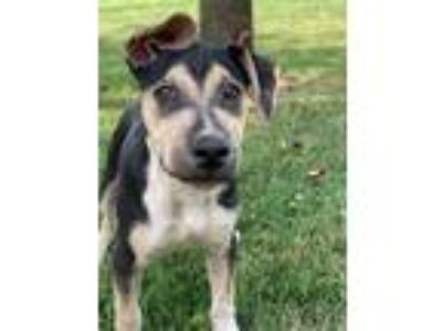 Adopt Watson WOW a German Shepherd Dog, Labrador Retriever