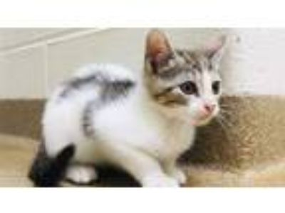 Adopt Zazu a Domestic Short Hair