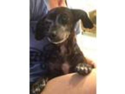 Adopt Shadow - Foster or Adopter needed! a Dachshund