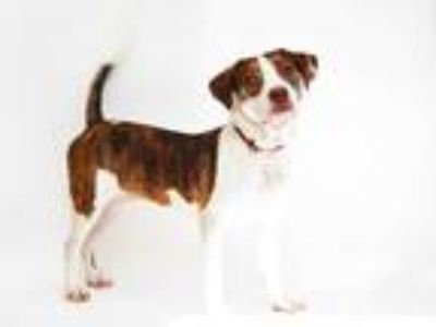 Adopt DRACO a Brindle - with White American Pit Bull Terrier / Mixed dog in St.