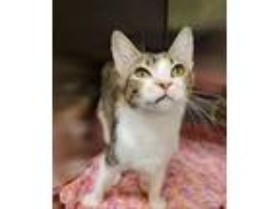 Adopt Cotton Candy a Domestic Shorthair / Mixed cat in Charlottesville