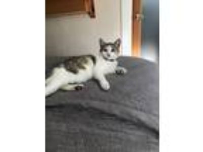 Adopt Mizzy a White (Mostly) American Shorthair / Mixed cat in Sun Valley