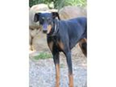 Adopt Athena a Black - with Tan, Yellow or Fawn Doberman Pinscher / Mixed dog in