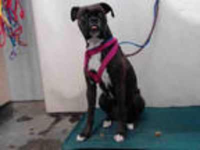 Adopt CHULA a Brindle - with White Boxer / Mixed dog in Camarillo, CA (25865766)