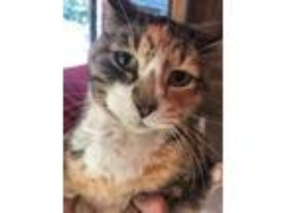 Adopt Scooter a Calico, Domestic Short Hair