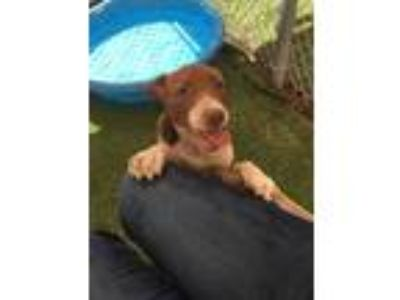 Adopt NYLA a Brown/Chocolate - with White German Shepherd Dog / Mixed dog in