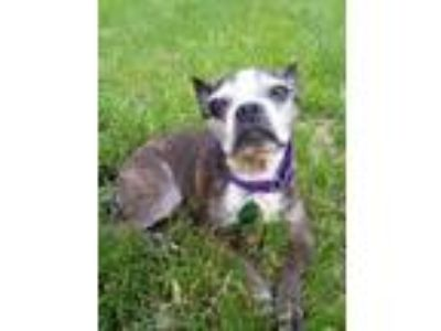 Adopt Rosie a Brindle Boston Terrier / Mixed dog in Spring City, PA (25204593)