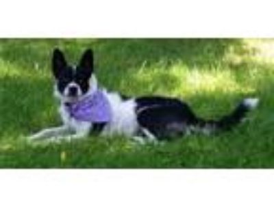 Adopt Lady a Black - with White Border Collie / Blue Heeler / Mixed dog in