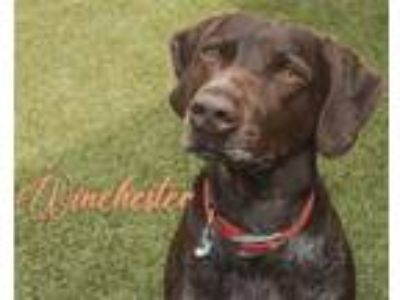 Adopt Winchester a German Shorthaired Pointer