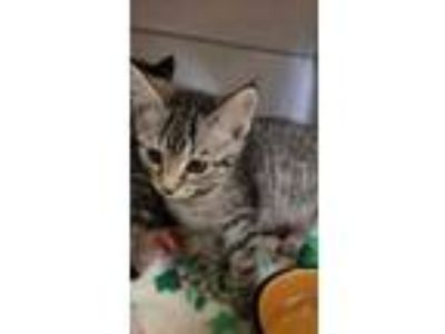 Adopt Bay a Gray or Blue Domestic Mediumhair / Domestic Shorthair / Mixed cat in
