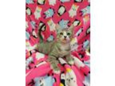 Adopt Margret a Domestic Short Hair