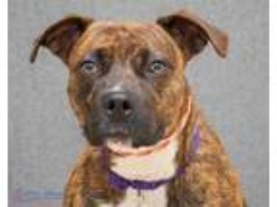 Adopt Serena a Brown/Chocolate American Pit Bull Terrier / Mixed dog in