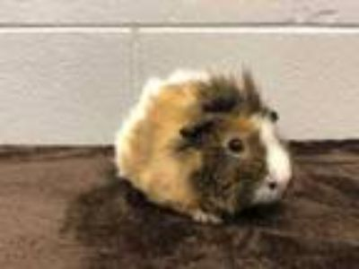 Adopt Mounds a White Guinea Pig / Guinea Pig / Mixed small animal in Palm Coast