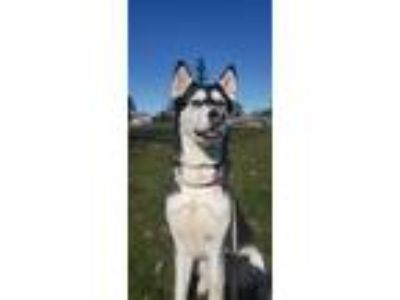 Adopt Layla a Husky / Mixed dog in St Helens, OR (25296908)