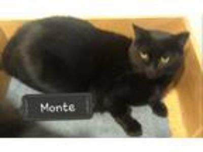 Adopt Monte a All Black Domestic Shorthair (short coat) cat in New York
