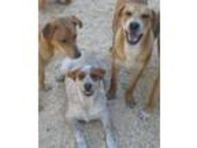 Adopt Lily a Australian Cattle Dog / Blue Heeler, German Shorthaired Pointer