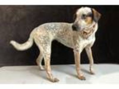 Adopt Holly Hound a White Australian Cattle Dog / Mixed dog in Voorhees