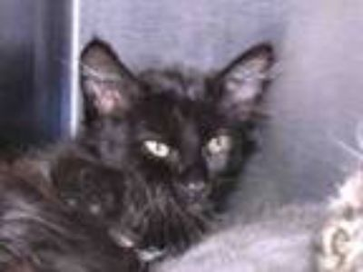 Adopt SHEPHERD a Domestic Medium Hair