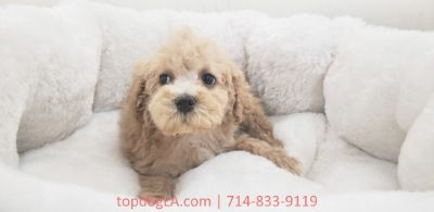 Poodle (Standard)-Maltese Mix PUPPY FOR SALE ADN-75783 - Maltipoo Male Nacho