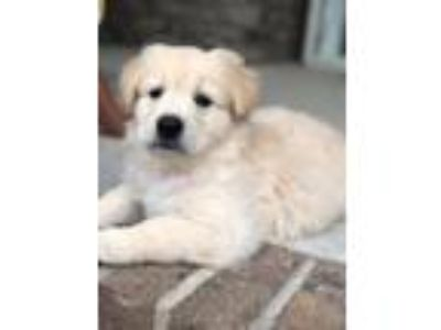 Adopt Hiccup a German Shepherd Dog / Great Pyrenees / Mixed dog in Waxhaw