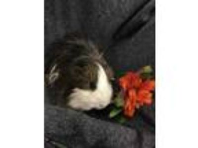 Adopt Tumble Weed a Brown or Chocolate Guinea Pig / Guinea Pig / Mixed small