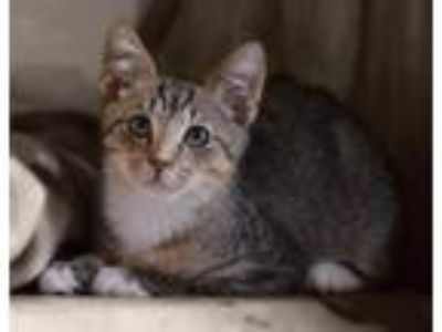 Adopt Ozzie a Tabby, Domestic Short Hair