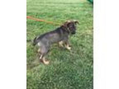 Adopt LUCK a Black German Shepherd Dog / Australian Shepherd / Mixed dog in