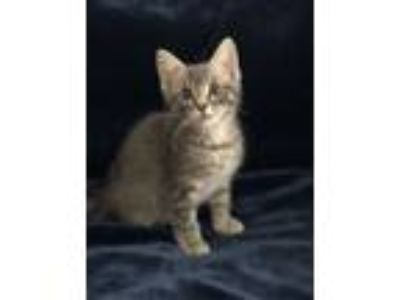 Adopt BELLAMY - AWESOME KITTEN! a Gray, Blue or Silver Tabby Domestic Shorthair