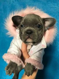 French Bulldog PUPPY FOR SALE ADN-108051 - Male French Bulldog