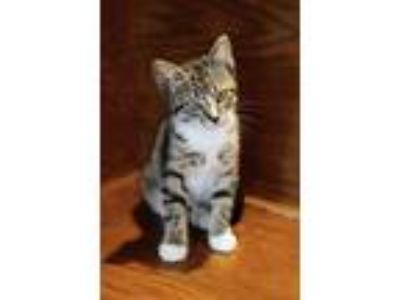 Adopt Artemisia a Brown Tabby Domestic Shorthair (short coat) cat in