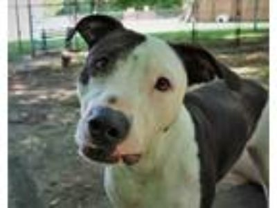 Adopt PETEY a Pit Bull Terrier / Mixed dog in Little Rock, AR (25389282)
