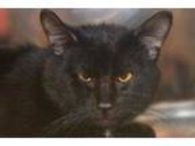 Adopt Milky Way a All Black Domestic Shorthair / Domestic Shorthair / Mixed cat