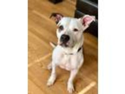 Adopt Chase Aldean a American Pit Bull Terrier / Mixed dog in Germantown